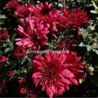 хризантема мультифлора Bigli Red