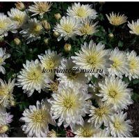 хризантема-мультифлора Aluga White