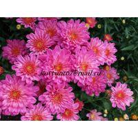 хризантема мультифлора Sunbeam dito Pink