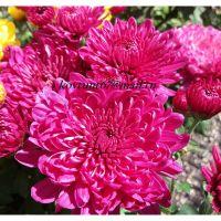 хризантема мультифлора Pula Purple