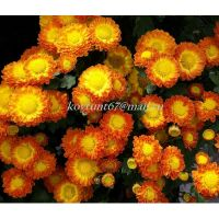хризантема мультифлора Dora Orange