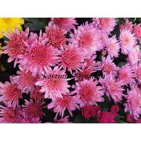 хризантема мультифлора Branhill Sweet Pink
