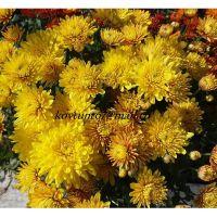 хризантема мультифлора Pula Yellow