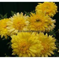 хризантема корейская Анемона Желтая
