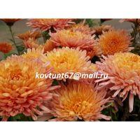 хризантема корейская Белочка