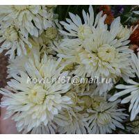 хризантема корейская Белый Лебедь