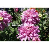 хризантема корейская Виктория