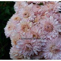 хризантема корейская Анюта