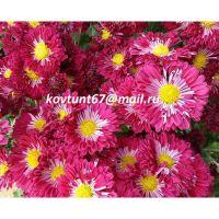 хризантема корейская Вышиванка