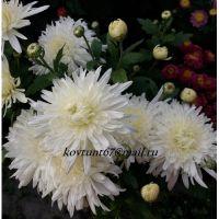 хризантема корейская Белая