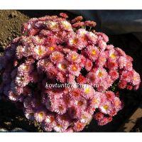 хризантема корейская Розовые Мечты