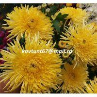 хризантема корейская Сонечко