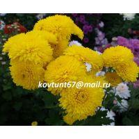 хризантема корейская Солнечный Зайчик