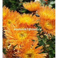 хризантема корейская Степовичка