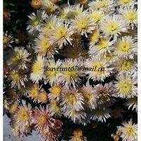 хризантема корейская Лейси Пинк