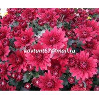 хризантема-мультифлора Zinzi Red
