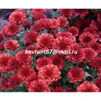 хризантема-мультифлора Branhell