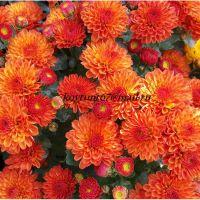 хризантема мультифлора Gigi Orange