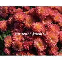 хризантема мультифлора Gigi Coral