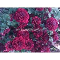 хризантема мультифлора Meridian dark Purple