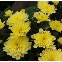 хризантема мультифлора Sunbeam dito Lemon