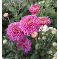 хризантема корейская  Blenda Purple