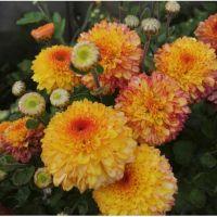 хризантема корейская  Pompon Yellow