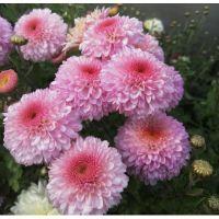 хризантема корейская  Pompon Pink