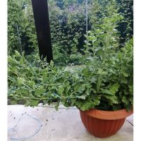 хризантема мультифлора каскадная