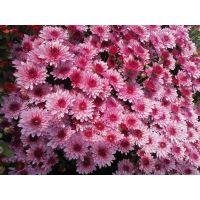 хризантема мультифлора Sunbeam Lively Pink Bicolor