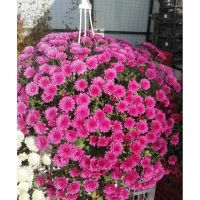 хризантема ампельная Skyfall Pink