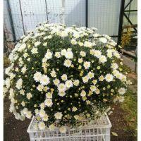 хризантема ампельная Skyfall White