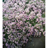 Астра почвопокровная розовая