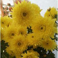 хризантема корейская Энона желтая