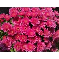 хризантема-мультифлора Meridian dark Pink