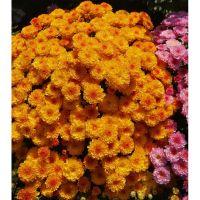 хризантема мультифлора Gigi Golden Yellow