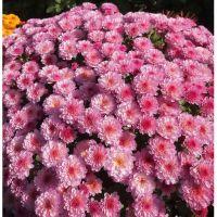 хризантема мультифлора Gigi Pink