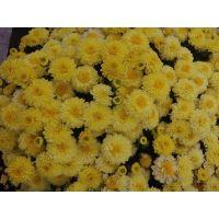 хризантема мультифлора Elfie Light Yellow