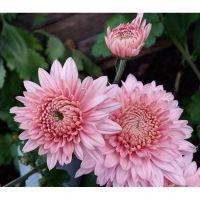 хризантема корейская Gompie Pink